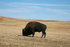 北美野牛水牛城公牛在Custer国家公园在南达科他美国黑山  库存图片