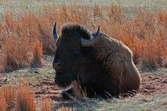 北美野牛水牛城公牛尘土辗压在Custer国家公园 库存图片