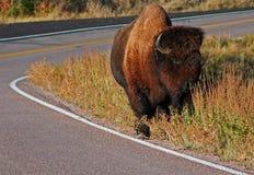 北美野牛水牛城在风穴国家公园 免版税库存照片