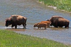 北美野牛水牛城在黄石国家公园威胁有小小牛的横穿河 库存照片