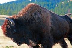 北美野牛水牛城成拱形和舒展在风穴国家公园的公牛在黑山 库存照片