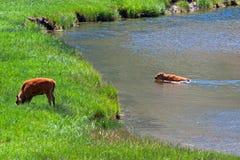 北美野牛水牛城横跨一条河的小牛游泳在黄石国家公园 免版税图库摄影