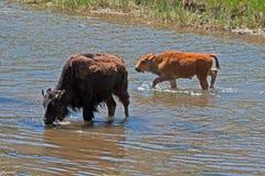 北美野牛水牛城母牛有小牛的横穿河在黄石国家公园 图库摄影