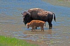 北美野牛水牛城母牛有小牛的横穿河在黄石国家公园 免版税库存照片