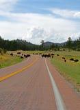 北美野牛水牛城牧群交通堵塞在Custer国家公园 免版税图库摄影