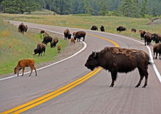 北美野牛水牛城牧群交通堵塞在Custer国家公园 免版税库存图片