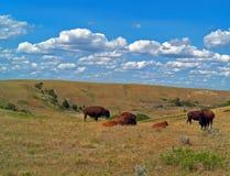 北美野牛水牛城牧群在西奥多・罗斯福国家公园 库存图片