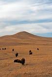 北美野牛水牛城牧群在Custer国家公园 库存图片