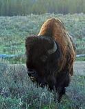 北美野牛水牛城走在黄石国家公园的公牛在怀俄明 免版税库存照片