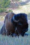 北美野牛水牛城躺下在风穴国家公园的公牛 库存照片