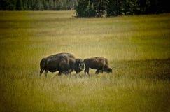 北美野牛水牛城黄石国家公园 库存图片