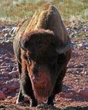 北美野牛水牛城Mudface公牛在风穴国家公园 图库摄影