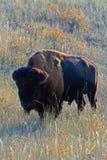 北美野牛水牛城Mudface公牛在风穴国家公园 库存图片
