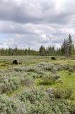 北美野牛黄石 图库摄影