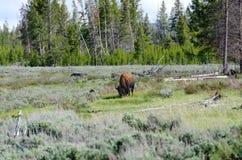 北美野牛黄石 免版税图库摄影