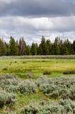 北美野牛黄石 库存照片