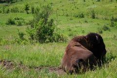 北美野牛-蒙大拿 库存图片
