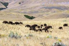 北美野牛 免版税库存照片