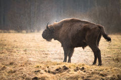 北美野牛 库存图片