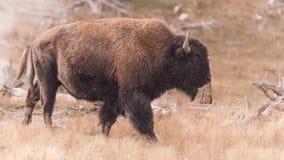 北美野牛 图库摄影