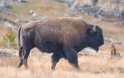 北美野牛 库存照片
