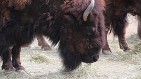 北美野牛 股票录像