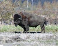 北美野牛 免版税库存图片
