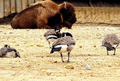 北美野牛` s鸟 库存图片
