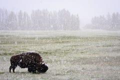 北美野牛6月暴风雪黄石 免版税库存照片