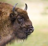 北美野牛bonasus欧洲 库存图片