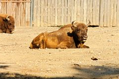 北美野牛bonasus 免版税库存照片