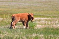 北美野牛calfs 图库摄影