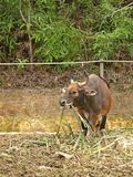 北美野牛gaur印地安人 库存照片