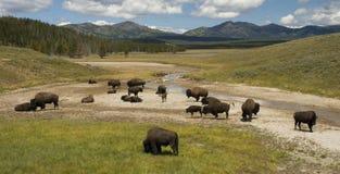 北美野牛hayden牧群谷 免版税库存照片