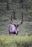 北美驯鹿凝视 图库摄影