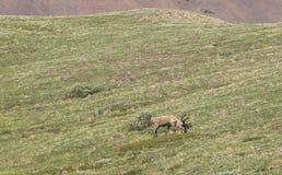 北美驯鹿在寒带草原吃草 图库摄影