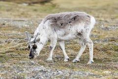 北美驯鹿在查寻在卑尔根群岛贫瘠风景的食物  库存图片