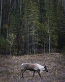 北美驯鹿大型装配架和森林 库存图片
