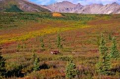 北美驯鹿寒带草原 库存照片