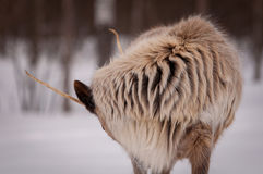 北美驯鹿毛皮特写镜头在冬天 免版税库存图片