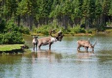 北美驯鹿自然设置森林地 库存图片