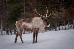 北美驯鹿身体特写镜头在冬天 库存照片