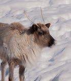 北美驯鹿顶头特写镜头在冬天 免版税库存照片