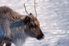 北美驯鹿顶头特写镜头在冬天 库存照片