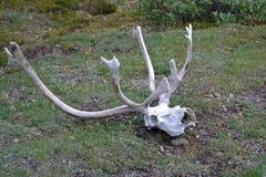 北美驯鹿头骨和鹿角 库存照片