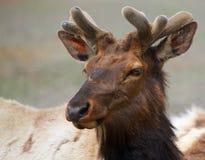 年轻北美驯鹿头 免版税库存图片