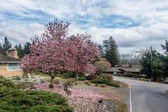 北美鹅掌楸在Burien,华盛顿 免版税图库摄影