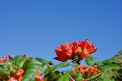 北美鹅掌楸的开花 免版税库存图片