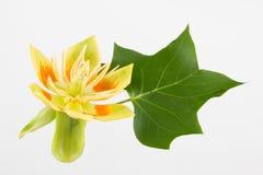 北美鹅掌楸花和叶子 免版税库存图片