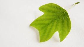 北美鹅掌楸(1)的装饰叶子 库存照片